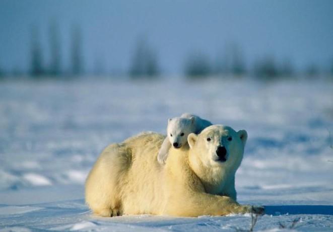 熊爪可超过4吋(约10cm),尽管身躯庞大,北极熊奔跑的时速依然有25英里