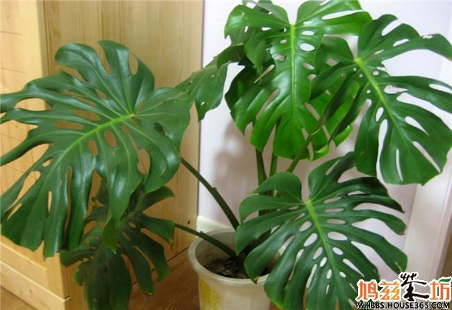 室内植物图片及名称【龟背竹】